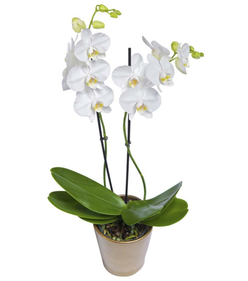 Beyaz orkidenin zerafeti. Seramik vazo içerisinde beyaz orkide 2 dallı