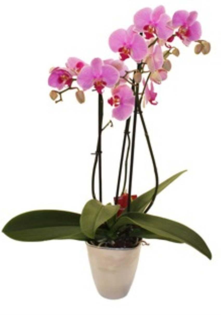 Aşk bir masaldır. Seramik vazo içerisinde pembe orkide 2 dallı