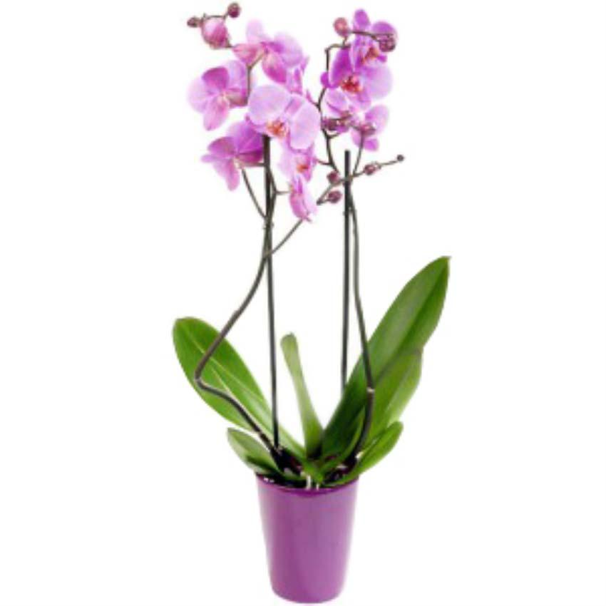 Sana her gecen gün daha çok aşık oluyorum. Seramik vazo içerisinde lila orkide 2 dallı