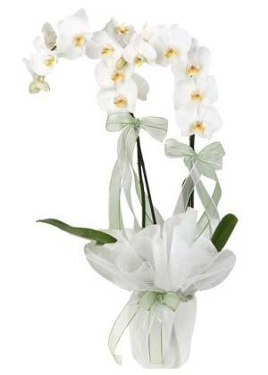 Beyaz Orkide 2 Dallı