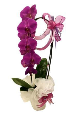 Mor orkide Tek Dallı